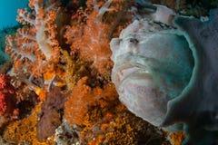 Jätte- Frogfish som döljer på den färgrika reven arkivfoto