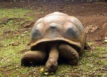 jätte- gammal sköldpadda Arkivfoto