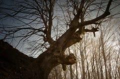 Jätte- gammalt träd i skog Royaltyfria Bilder