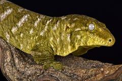 Jätte- gecko (den Rhacodactylus laechianusen) Arkivbilder