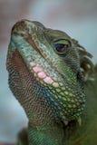 Jätte- gecko, Hanoi, Vietnam royaltyfria foton