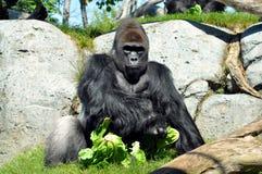 Jätte- gorilla som har lunch på den San Diego zoo Arkivfoto