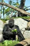 Jätte- gorilla som har lunch på den San Diego zoo Arkivbilder