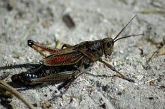 Jätte- gräshoppa Royaltyfria Foton
