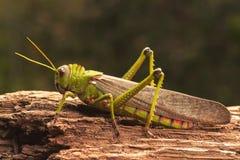 jätte- gräshoppa Royaltyfri Bild