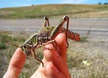 Jätte- gräshoppa förestående Royaltyfria Bilder