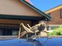 Jätte- gräshoppagräshoppa på biltaket Fotografering för Bildbyråer