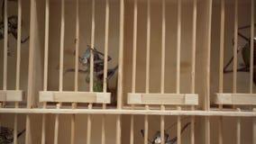 Jätte- gräshoppor för asiatisk loppmarknad i en bur lager videofilmer