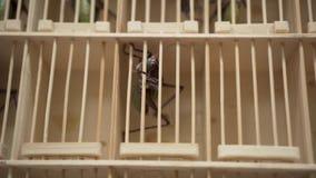 Jätte- gräshoppor för asiatisk loppmarknad i en bur arkivfilmer