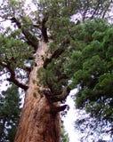 jätte- grizzlyredwoodträd Royaltyfri Foto