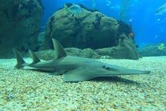 jätte- guitarfish Royaltyfri Foto