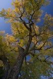 jätte- guld- leavestree för poppel Royaltyfri Fotografi