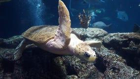 jätte- havssköldpadda Arkivbild