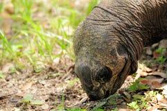 jätte- head sköldpadda arkivfoto