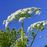 Jätte Hogweed (Heracleumsphondyliumen) Royaltyfri Fotografi