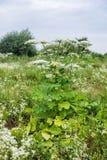 Jätte Hogweed i fältet som blommar Farlig giftlig växt också som är bekant som kopalsternackan eller Heracleum arkivfoto