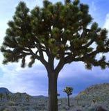 Jätte Joshua Tree, Joshua Tree National Park, CA Arkivfoton