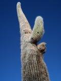 Jätte- kaktus Arkivfoto