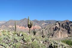 Jätte- kaktus i Altiplano Royaltyfria Bilder