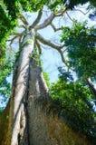 Jätte- kapockträd i amasonrainforesten, Tambopata nationell reserv, Peru Arkivfoto