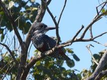 jätte- kingfisher Arkivbilder