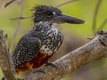 jätte- kingfisher arkivfoto