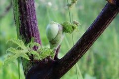Jätte- knopp för gödsvinogräsblomma Arkivbild