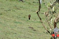 Jätte- kolibri i Antisana den ekologiska reserven Royaltyfri Foto