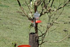 Jätte- kolibri i Antisana den ekologiska reserven Royaltyfri Bild