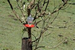 Jätte- kolibri i Antisana den ekologiska reserven Royaltyfri Fotografi