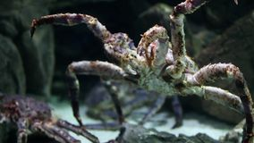 Jätte- krabba lager videofilmer
