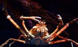 Jätte- krabba Arkivbilder