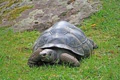 jätte- landsköldpadda Arkivfoto
