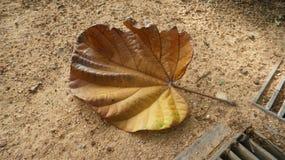jätte- leaf Royaltyfri Bild