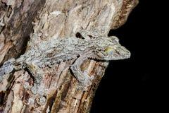 Jätte- leaf-svan gecko, marozevo royaltyfri fotografi