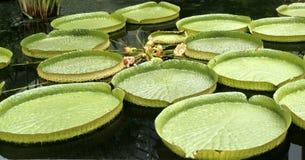 jätte- liljavatten royaltyfri bild