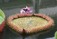 jätte- liljavattenbarn Arkivfoton