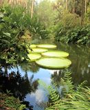 Jätte Lily Pads i vatten Royaltyfria Bilder