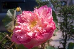 jätte- lotusblomma Royaltyfri Fotografi