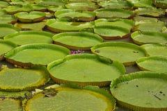 Jätte- lotusblommablad Royaltyfri Fotografi