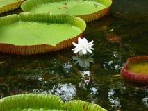 jätte- lotusblommasidor arkivbilder