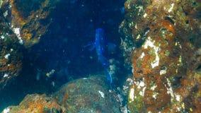 Jätte- mexikansk damselfish på islaen Santa Fe i galapagosen arkivbilder
