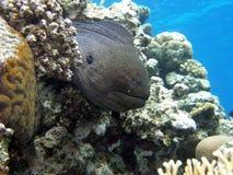 jätte- moray Arkivfoton