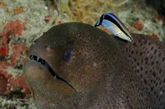 Jätte- morayGymnothorax javanicus med mer ren wrasseLabroides dimidiatus royaltyfri fotografi