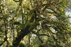 Jätte mossa-täckt lönnträd. Royaltyfri Bild