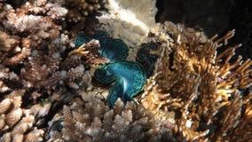 Jätte- mussla för turkos Arkivfoton