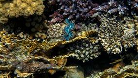 Jätte- mussla i Coral Reef Arkivfoton
