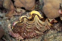Jätte- mussla i Röda havet, i phuket Thailand Arkivbilder