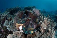 Jätte- mussla i västra Papua, Indonesien royaltyfri foto