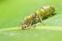 Jätte- myra som lägger ägg Arkivbild